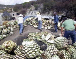 """In-ground ovens"""" caption to read: """"putting agave hearts (piñas) in pre-heated in-ground oven over firewood and rocks"""